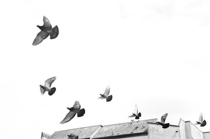 pigeon ct